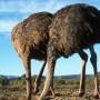 ostriches-stick-heads-sand_f6014aa539bbc417